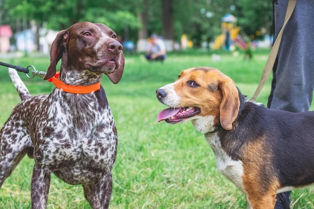 Cães de retrato de raças de um cão da estônia e um ponteiro alemão de pêlo curto
