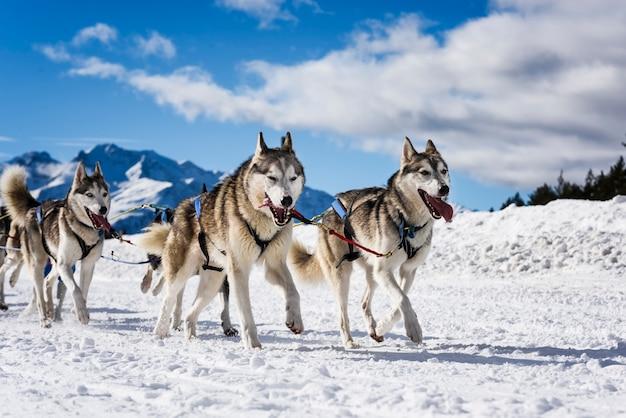 Cães de trenó em corridas de velocidade