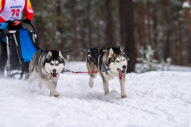 Cães de trenó husky equipe em corrida com arreios
