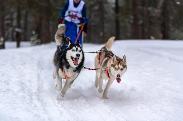 Cães de trenó husky se unem em corrida de arreios e puxam o motorista do cão corridas de cães de trenó. competição do campeonato de esporte de inverno.
