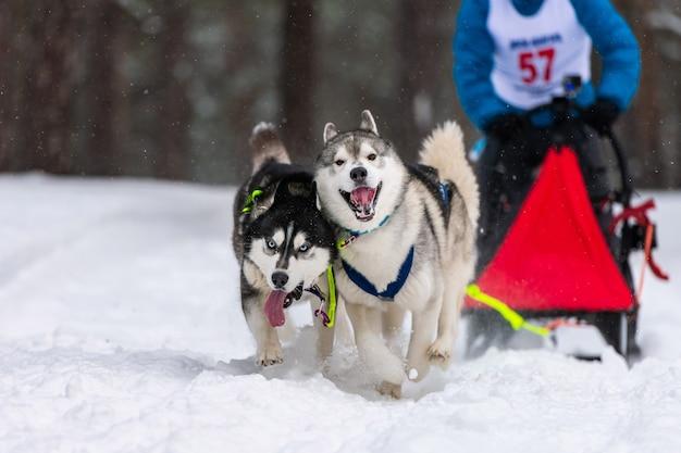 Cães de trenó husky se unem em corrida de arreios e puxam o motorista do cão. corridas de cães de trenó. competição do campeonato de esporte de inverno.