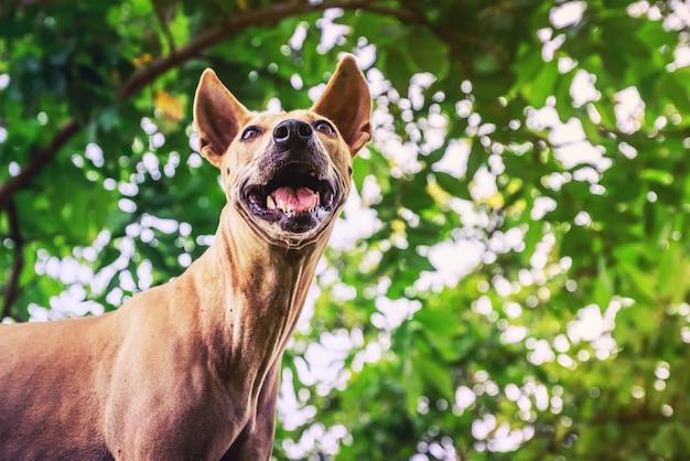 Cães feios de tailândia