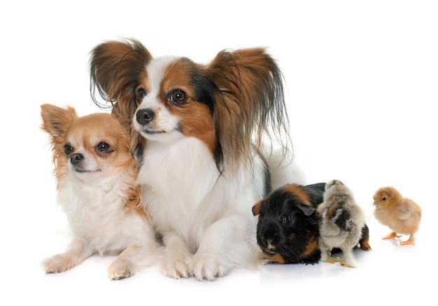 Cães, filhotes e cobaia