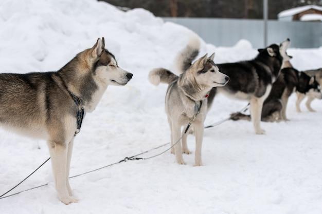 Cães husky à espera de corrida de cães de trenó