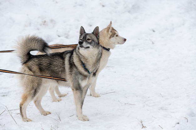 Cães husky amarrados a cabo, esperando a corrida de cães de trenó, fundo de inverno.