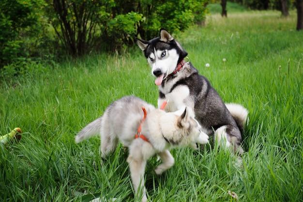 Cães husky andando em um parque.