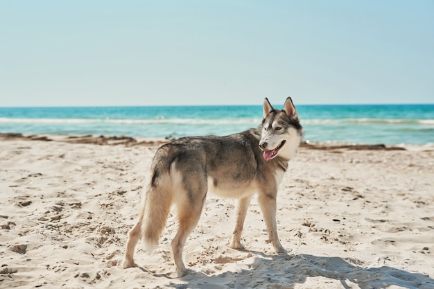 Cães husky na praia