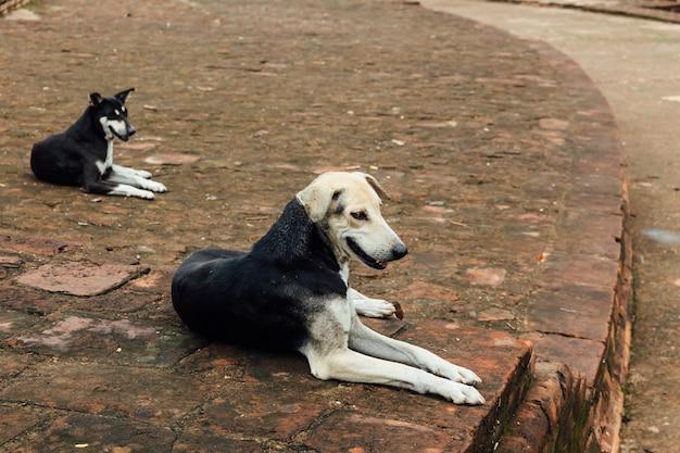 Cães indianos que sentam-se no assoalho do tijolo perto do templo de mahabodhi em bodh gaya, bihar, india.