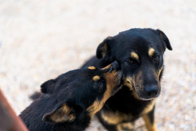 Cães lambendo um ao outro