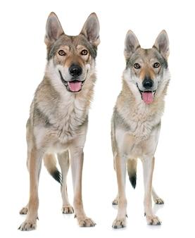 Cães lobo checoslovaco