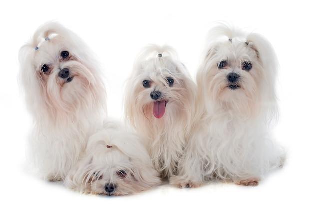 Cães maleteses