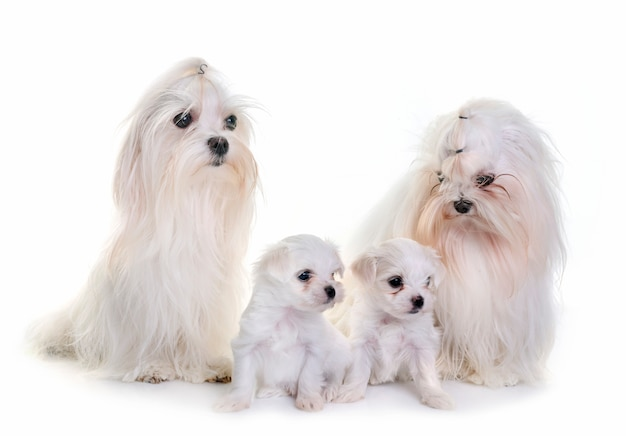 Cães maltês da família