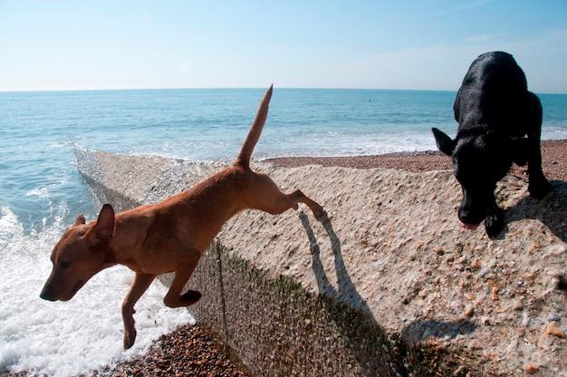 Cães paddaling no mar