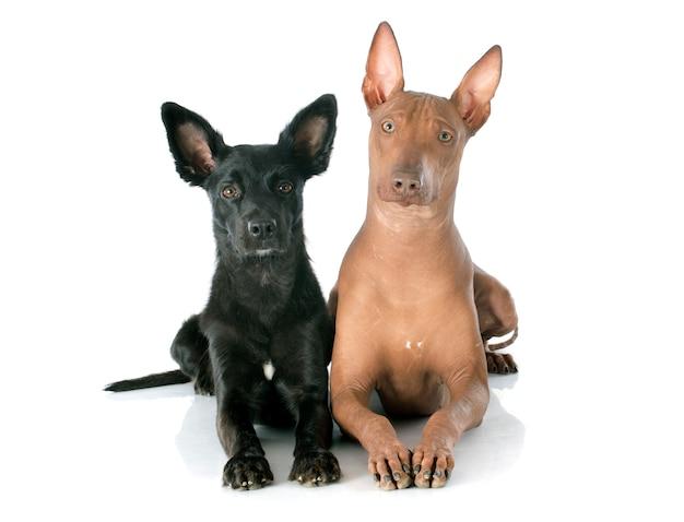 Cães peruanos