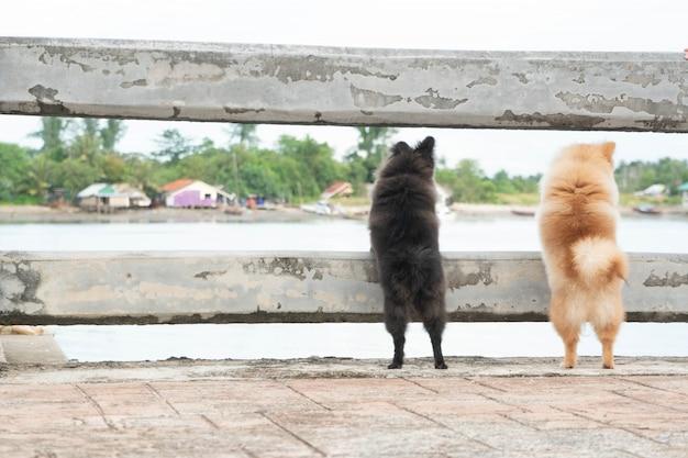 Cães pomerânia estão em pé olhando para algo.