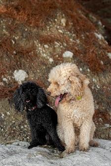 Cães poodle de alto ângulo ao ar livre