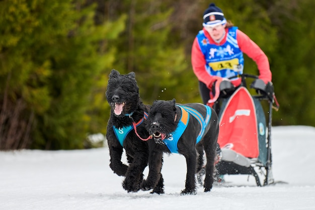 Cães schnauzer gigante puxando trenó com musher