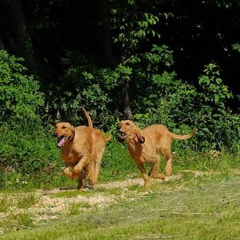 Cães segugio italiano