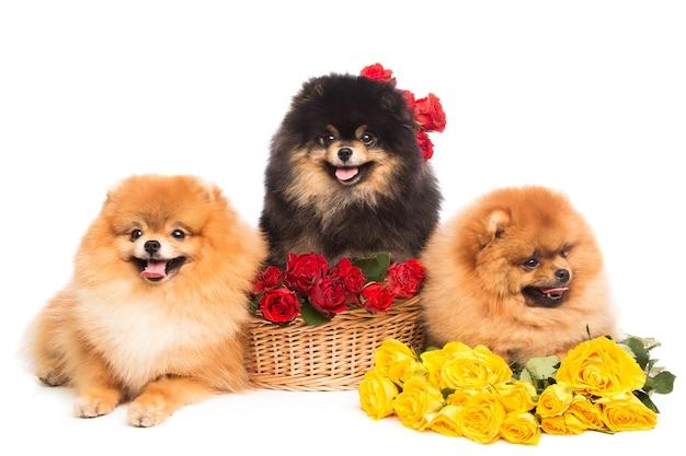 Cães spitz na cesta com flores