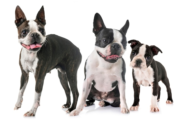 Cães terrier de boston