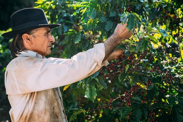 Café arábica colhido manualmente por mãos de agricultores. café especial brasileiro.