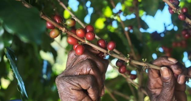 Café arábica colhido manualmente por mulheres agricultoras. café especial brasileiro