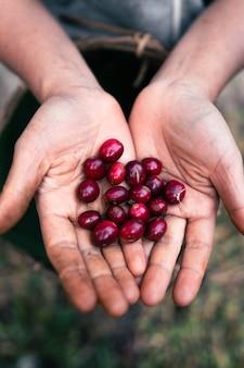 Café arábica maduro sob a copa das árvores na floresta, agricultura colhendo café manualmente