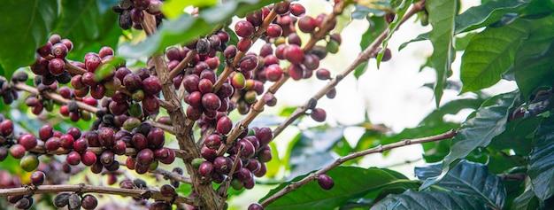 Café árvore close-up