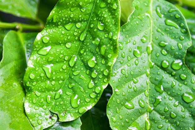 Café de folha e soltar a água