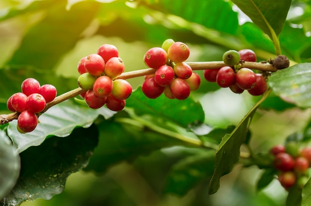Café em grão amadurecendo, café fresco, ramo de baga vermelha
