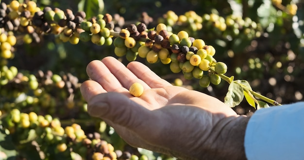 Café em grão amadurecendo café fresco ramo de frutas vermelhas indústria agricultura na árvore