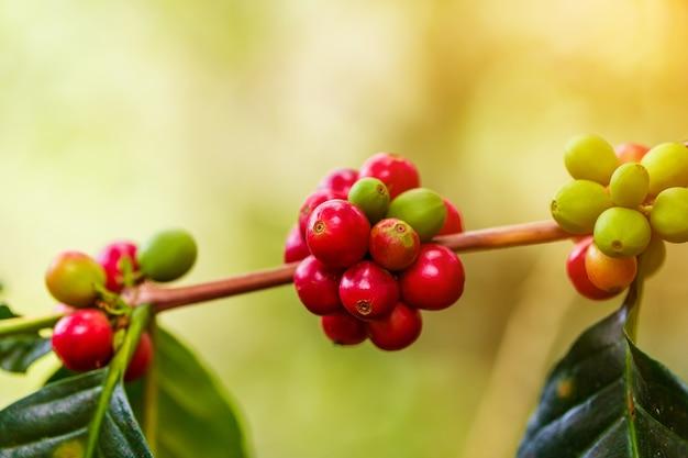 Café em grão amadurecimento, café fresco, ramo de baga vermelha