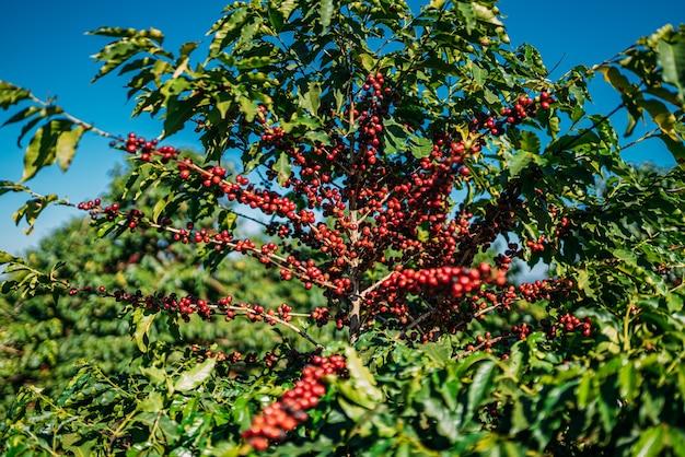 Café na árvore. colheita de café. brasil