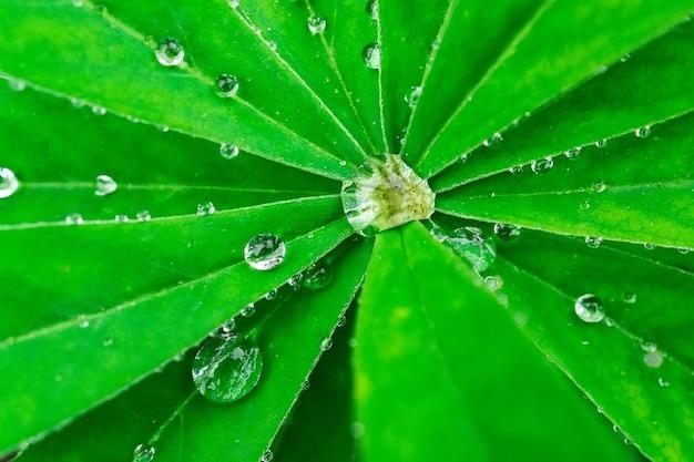 Cai em uma folha verde. reflexo em uma gota. foto macro. grandes gotas de orvalho. pingos de chuva nas folhas verdes. gotas de água.