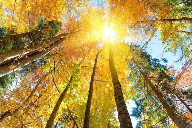 Cai na floresta. laranjeiras com folhas vermelhas e raios de sol