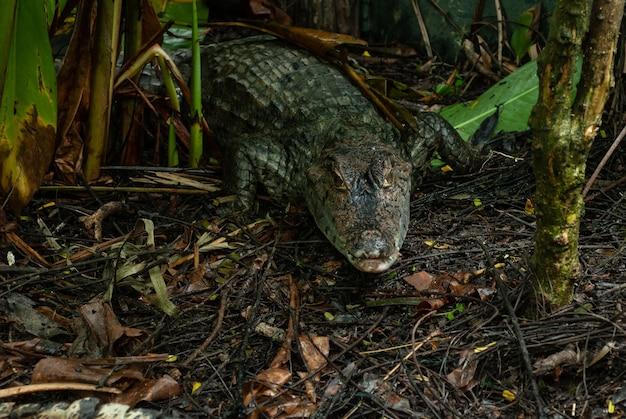 Caiman crocodile absorvendo calor da luz solar
