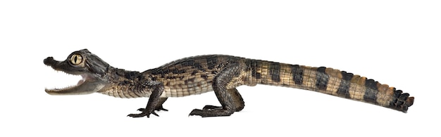 Caiman de óculos, caiman crocodilus, também conhecido como o caiman branco ou caiman comum, 2 meses de idade, contra o espaço em branco