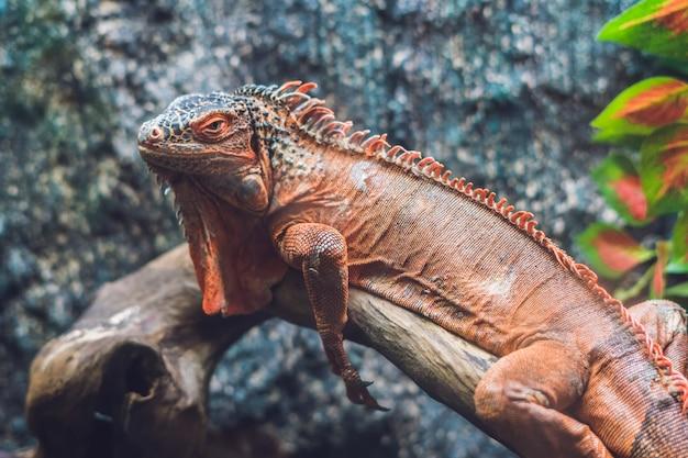 Caiman lizard dracaena guianensis, um grande réptil verde e vermelho nativo da américa do sul.
