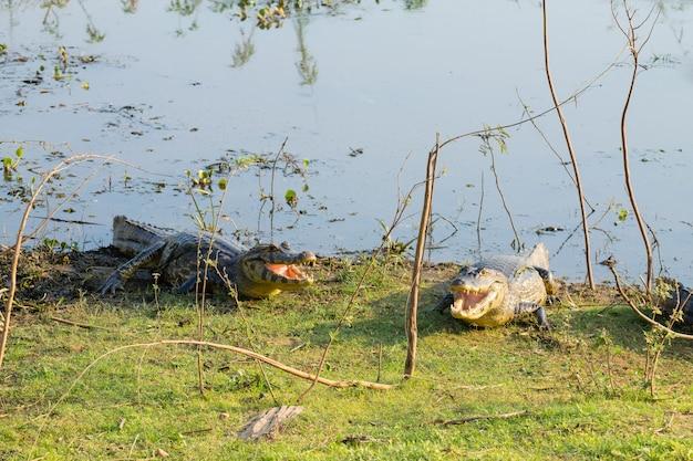 Caiman que esquenta no sol da manhã do pantanal, brasil. fauna brasileira.