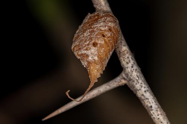 Caixa de ovo de mantises da ordem mantodea parasitada por vespas parasitóides