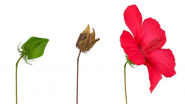 Caixa de sementes de hibisco marrom seco, broto de hibisco florescendo e não queimado