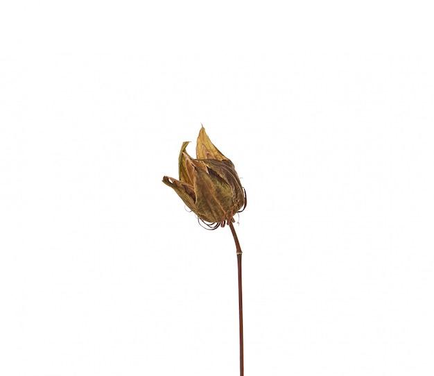 Caixa de sementes de hibisco marrom seco isolada