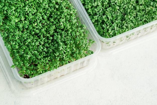 Caixas de plástico com microgreens em crescimento de agrião e brócolis