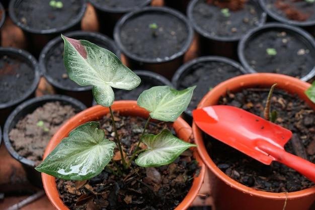 Caladium bicolor chaichon em vaso grande planta para decorar jardim