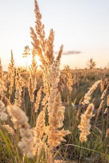 Calamagrostis epigejos uma grama lenhosa de folhas pequenas ou arbustivas ao pôr do sol no verão quente