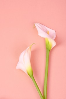 Calas brancas. flores delicadas