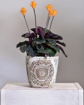 Calathea crocata tassmania, planta de oração no vaso vintage