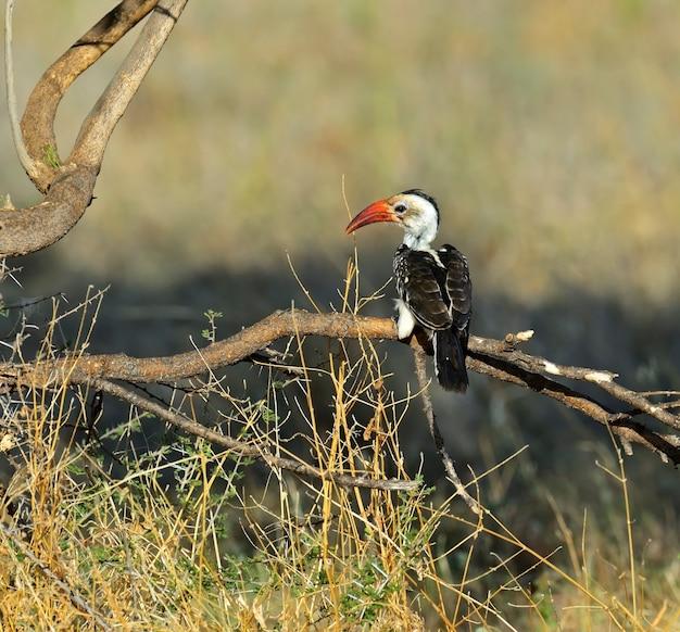 Calau-de-bico-vermelho no parque nacional de samburu