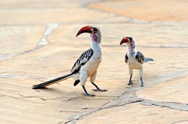 Calau-de-bico-vermelho, tockus erythrochynchus, reserva de caça samburu, quênia