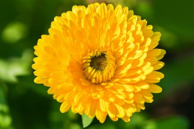Calêndula. a vista de cima é uma grande flor amarela de calêndula.
